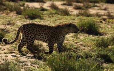 Leopardo visto de lado, con su pelaje caracteristico de color amarillo y el color negro forma una especie de forma de ojos en su pelaje