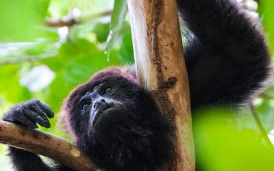 Mono aullador visto desde abajo en un arbol de la selva