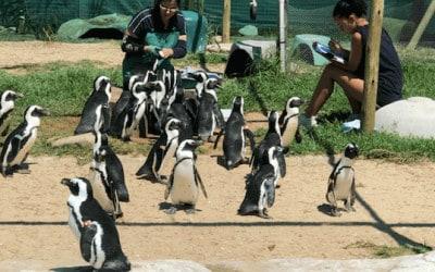 pingüinos siendo rescatados
