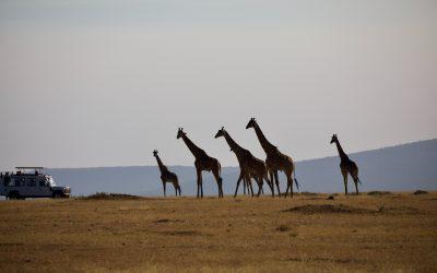 jirfas caminando y safari observando