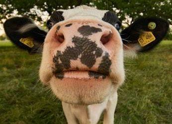 vaca con hocico muy cerca de la camara. intercambio rural nueva zelanda