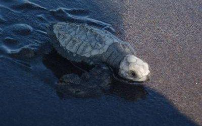 tortuga marina caminando en la arena. rescate de tortugas marinas