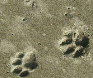 Investigación del jaguar en Costa Rica gvi