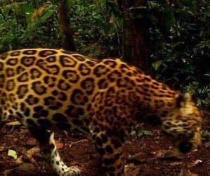 voluntariado de investigación del jaguar en Costa Rica