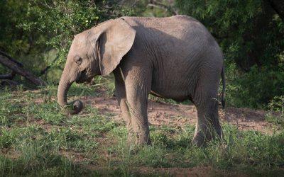 Elefantes en la naturaleza